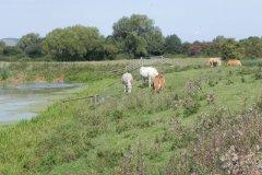 20.-Cattle-near-Eastern-Moor-Bridge