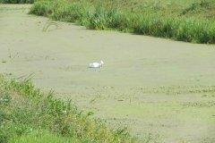21.-Swan-upstream-from-Gold-Corner-Bridge-and-Sluice
