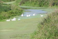 5.-Swans-downstream-from-Little-Moor-Bridge