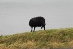 5. Black sheep Lynmouth