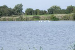 8.-Swans-on-Huntspill-River-at-Gold-corner