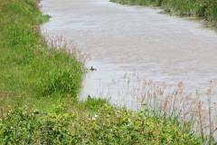 11.-Upstream-from-Westonzoyland-Pumping-Station-3