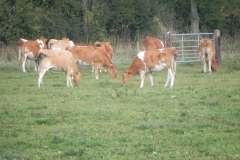 1.-Guernsey-Cattle-by-River-Cary
