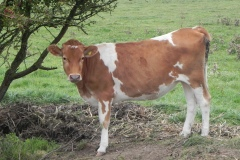 2.-Guernsey-Cattle-by-River-Cary