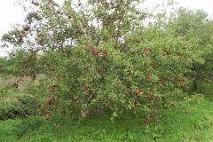 Apple-Tree-Babcary-Meadow-Riverside-Garden
