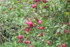 Apples-Babcary-Meadow-Riverside-Garden