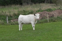 Cattle-by-River-Cary-near-Babcary-Meadows-2