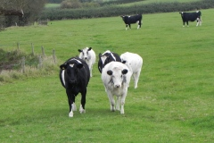 Cattle-by-River-Cary-near-Babcary-Meadows-3