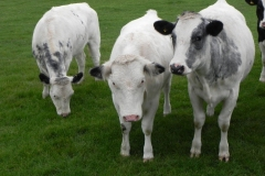 Cattle-by-River-Cary-near-Babcary-Meadows-6
