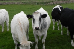 Cattle-by-River-Cary-near-Babcary-Meadows-7