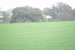 Deer-on-Cary-Moor-by-River-Cary