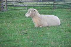 Ewe-By-River-Cary-on-Cary-Moor-2