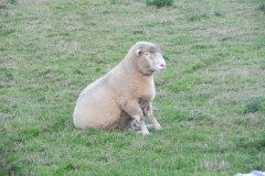 Ewe-By-River-Cary-on-Cary-Moor
