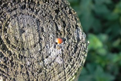 Ladybird-by-River-Cary-at-Cary-fitzpaine