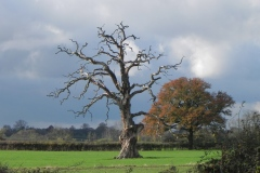Lightning-Tree-by-River-Cary-on-Cary-Moor