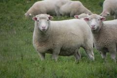 Sheep-by-River-Cary-near-Manor-Farm-Babcary-2