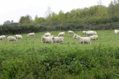 Sheep-by-River-Cary-near-Manor-Farm-Babcary