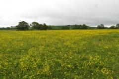 Buttercup-field-by-River-Parrett