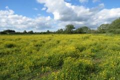 Buttercup-fields-by-River-Parrett-below-Creedy-Bridge-1