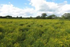 Buttercup-fields-by-River-Parrett-below-Creedy-Bridge-2