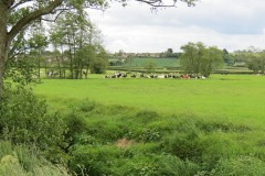 Dairy-cattle-by-River-Parrett-upstream-from-Byme-Bridge-3