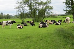 Dairy-cattle-by-River-Parrett-upstream-from-Byme-Bridge-4