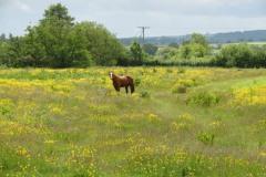 Grazing-Horse-by-River-Parrett-below-Creedy-Bridge-1