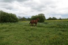Grazing-Horse-by-River-Parrett-below-Creedy-Bridge-3