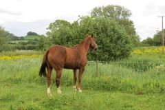 Grazing-Horse-by-River-Parrett-below-Creedy-Bridge-4
