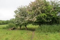 Hawthorn-in-blossom-by-River-Parrett