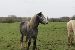 Horses-by-River-Parrett-close-to-Gawbridge-Mill-1
