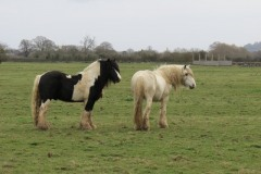 Horses-by-River-Parrett-close-to-Gawbridge-Mill-3