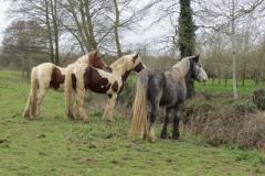 Horses-by-River-Parrett-close-to-Gawbridge-Mill-4