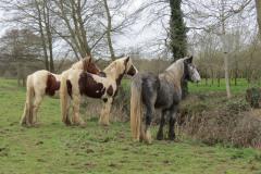 Horses-by-River-Parrett-close-to-Gawbridge-Mill-5