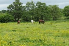 Horses-by-River-Parrett-upstream-from-Petherton-Bridge-11