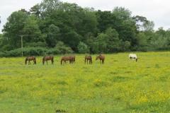 Horses-by-River-Parrett-upstream-from-Petherton-Bridge-12
