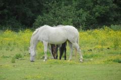 Horses-by-River-Parrett-upstream-from-Petherton-Bridge-13
