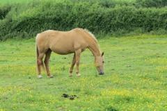 Horses-by-River-Parrett-upstream-from-Petherton-Bridge-2