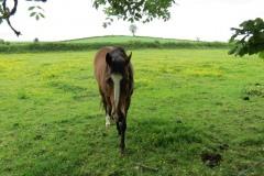 Horses-by-River-Parrett-upstream-from-Petherton-Bridge-3