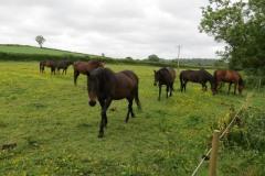 Horses-by-River-Parrett-upstream-from-Petherton-Bridge-5