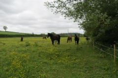 Horses-by-River-Parrett-upstream-from-Petherton-Bridge-6