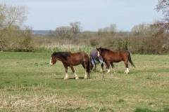 Horses-by-the-River-Parrett-upstream-from-Coombe-Bridge-1