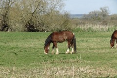 Horses-by-the-River-Parrett-upstream-from-Coombe-Bridge-2