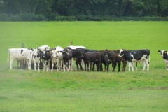 Young-cows-by-River-Parrett-below-Creedy-Bridge-1
