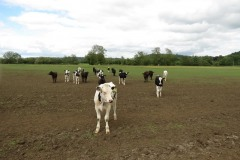 Young-cows-by-River-Parrett-below-Creedy-Bridge-2