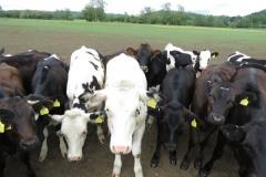 Young-cows-by-River-Parrett-below-Creedy-Bridge-4