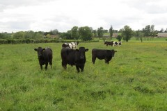 Young-cows-by-River-Parrett-downstream-from-Bow-Bridge-2